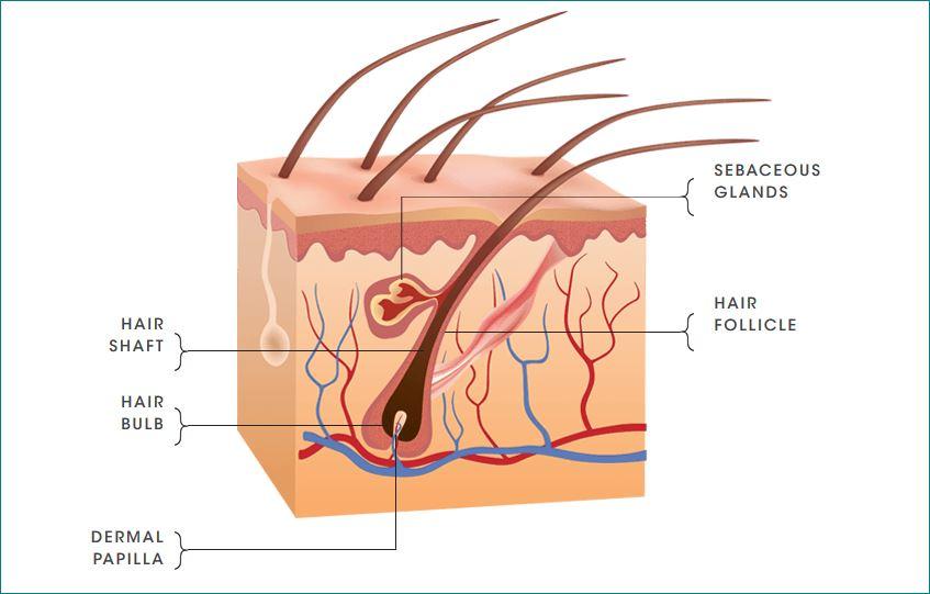 hair skin